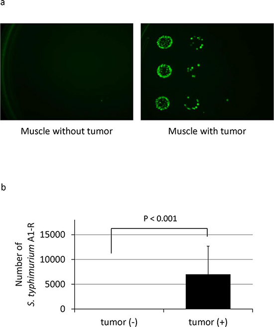 Selective tumor-targeting of S. typhimurium A1-R.