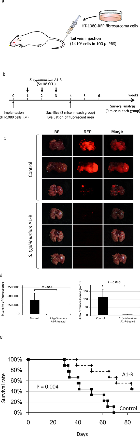 Efficacy of S. typhimurium A1-R on experimental lung metastasis of fibrosarcoma.