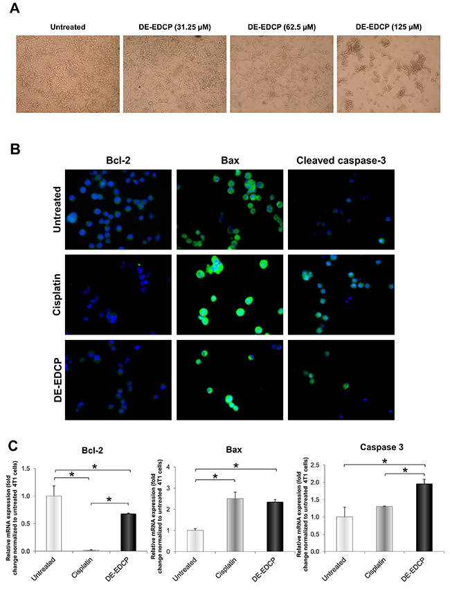Morphological changes and expression of key apoptosis-related molecules in 4T1 cells after DE-EDCP treatment.