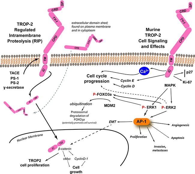 TROP-2 processing, cell signaling and its effects [adapted from Shvartsur and Bonavida, [9]].