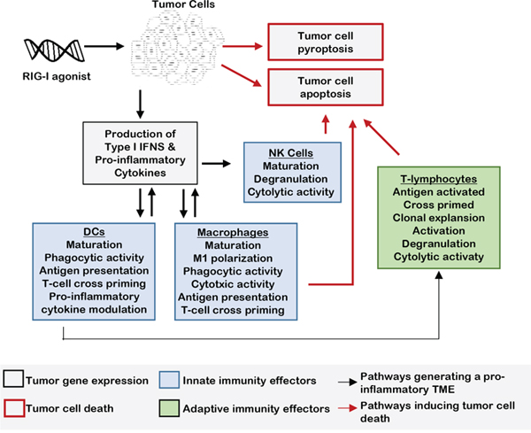 RLR activation signals innate immunity in the TME.