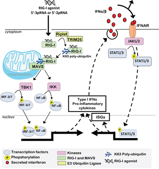 RIG-I activation induces Type I IFNs, which support pro-inflammatory transcriptional reprogramming.