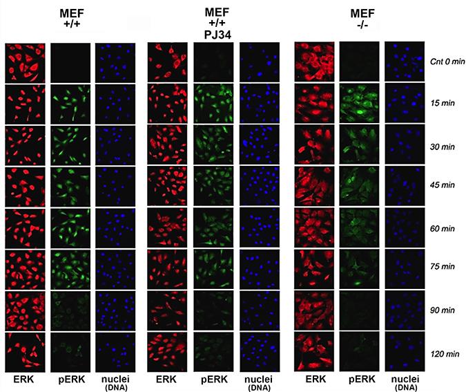 Stimulation–induced Erk phosphorylation down-regulated in nuclei of PARP1-KO MEF.