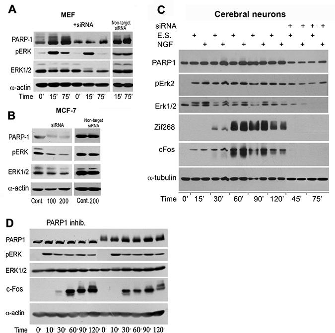 PARP1 mediates stimulation-induced Erk phosphorylation in the nucleus.