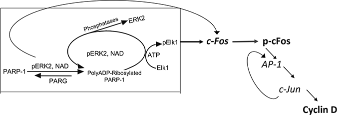 A flowchart presentation for PARP1 - Erk synergism controlling the expression of cyclin D.