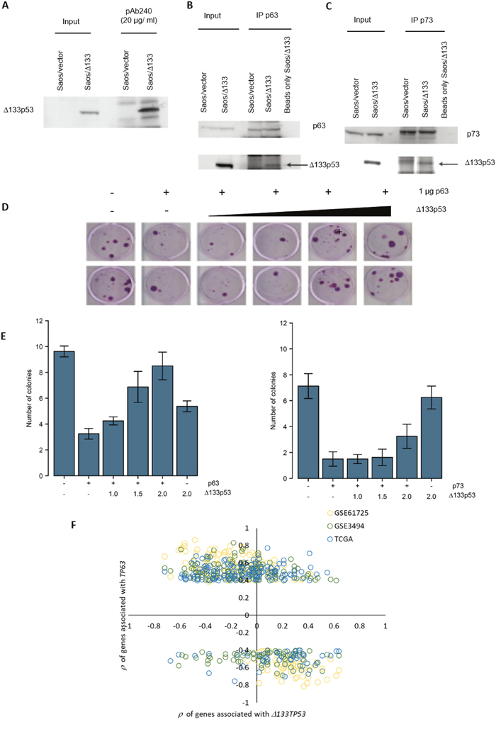 Δ133p53 inhibits TAp63 and TAp73 and Δ133TP53 RNA expression is inversely correlated with TP63 associated genes in ER- wtTP53 tumours.