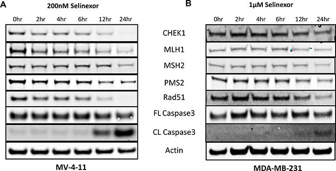 Reduced expression of selinexor dependent expression of DNA damage repair proteins detected prior to cell death.
