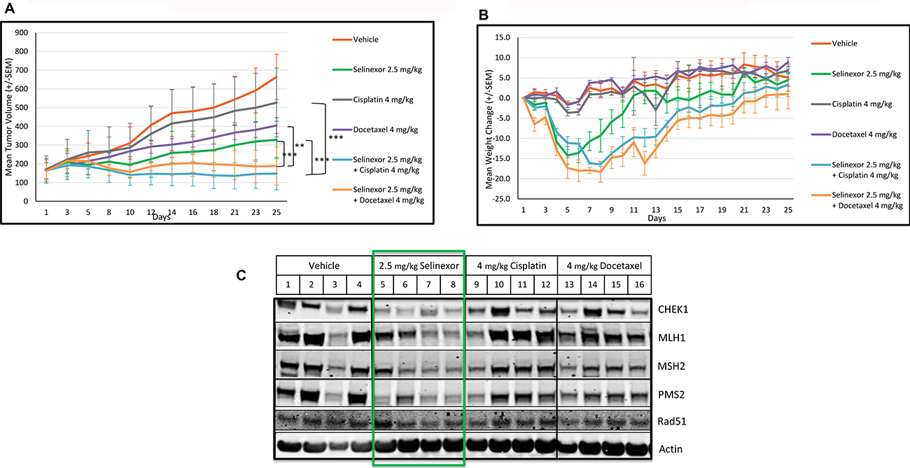 Selinexor demonstrates synergistic anti-tumor effects in combination with cisplatin or docetaxel and inhibits the expression of DDR proteins in an in vivo breast cancer model.