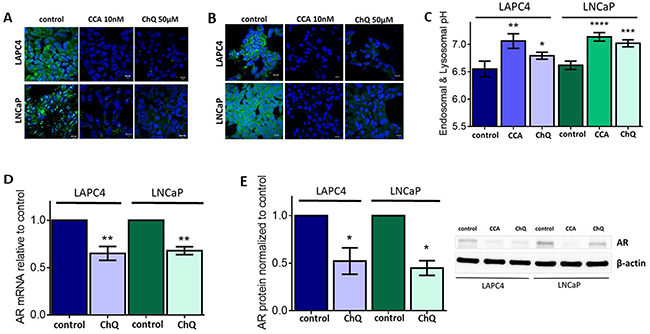 Endo-lysosomal alkalinization is sufficient to reduce androgen receptor expression levels.