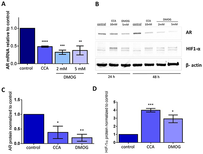 Stabilizing HIF1α independently of V-ATPase inhibition is sufficient to decrease androgen receptor expression.