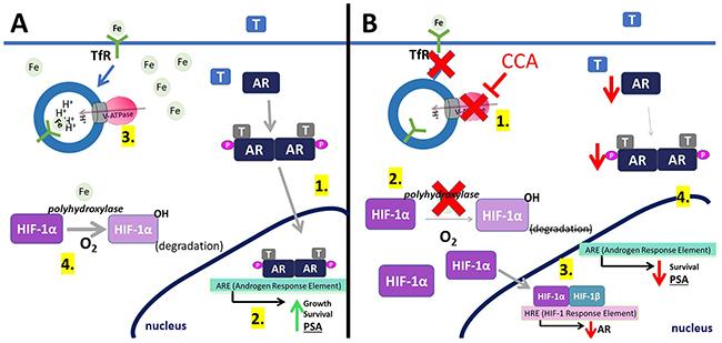 Model for V-ATPase inhibition-induced androgen receptor repression.