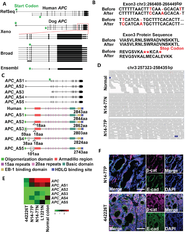 Neither germline nor somatic mutations of APC were found in N14-77.