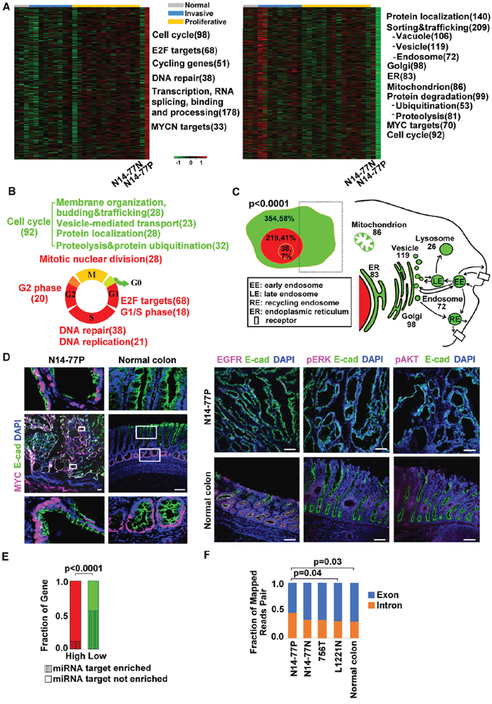Highly- and lowly expressed genes in N14-77 polyps differ in function, cell cycle phase, cellular location and miRNA target site enrichment.