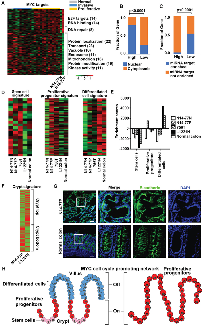 MYC network and crypt proliferative progenitor signature are activated in N14-77 polyps.