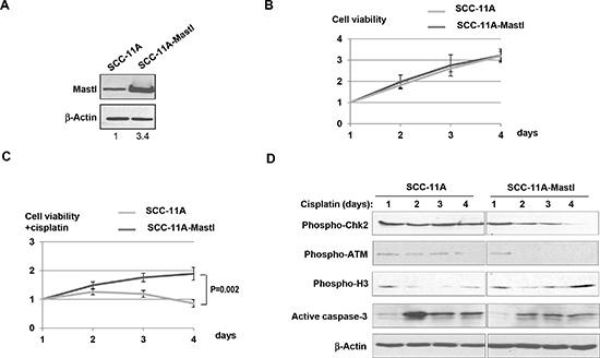 Mastl upregulation promotes cell proliferation under DNA damage stress.