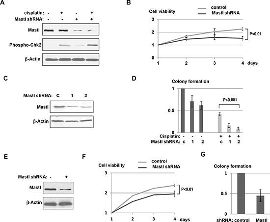 Mastl knockdown sensitized resistant tumor cells to cisplatin.