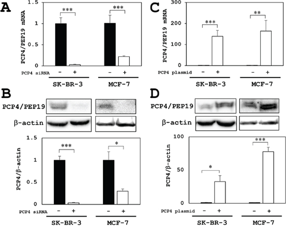 PCP4/PEP19 knockdown and overexpression in MCF-7 and SK-BR-3 cells.