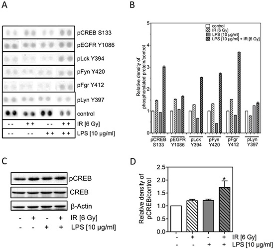 LPS combined with irradiation induces an up-regulation of pCREB.
