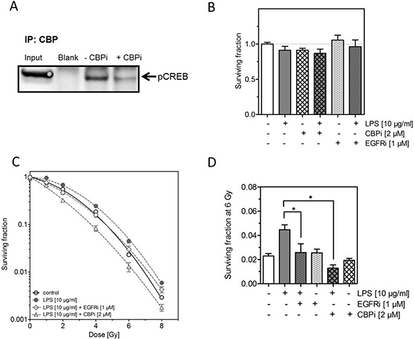 Inhibition of CREB binding protein (CBP) abrogates the LPS-induced radioresistance.
