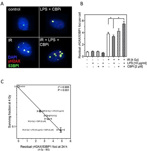 Inhibition of CBP (CBPi) impairs DNA double-strand break in cells treated by LPS.