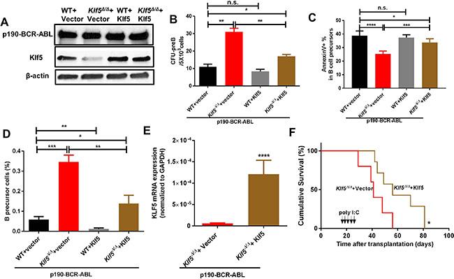 Klf5 rescues Klf5-deficient, p190-BCR-ABL leukemogenesis and leukemic precursor survival.