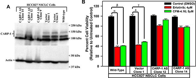 Knockdown of CARP-1 blocks CFM-4.16 effects.