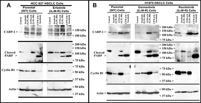 Apoptosis induction in parental and TKI-resistant NSCLC cells following treatments with CFM-4.16 and Sorafenib.