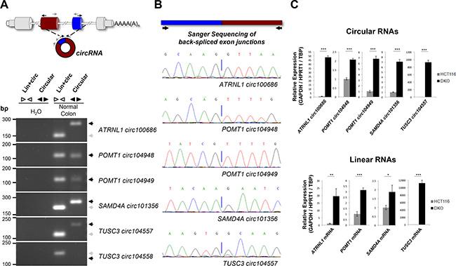 Characterization of TUSC3, ATRNL1, POMT1 and SAMD4A promoter CpG island hypermethylation-associated silencing of circular and linear RNAs.