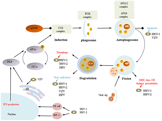 Functions of autophagy.
