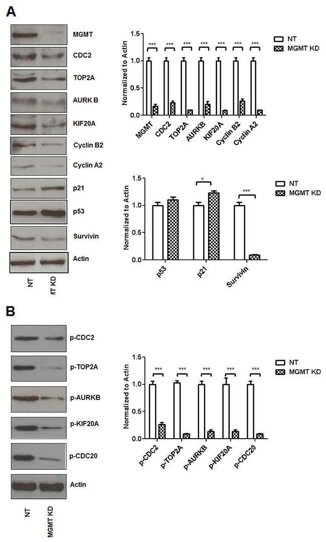 siRNA MGMT inhibition leads to decreased CDC2, TOP2A, ARUKB, KIF20A, Cyclin B2, Cyclin A2 and Survivin expression.
