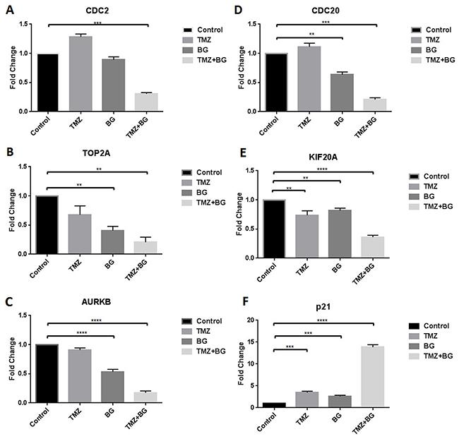 BG+/-TMZ therapy decrease CDC2, CDC20, TOP2A, KIF20A, AURKB transcription and induce p21 transcription.