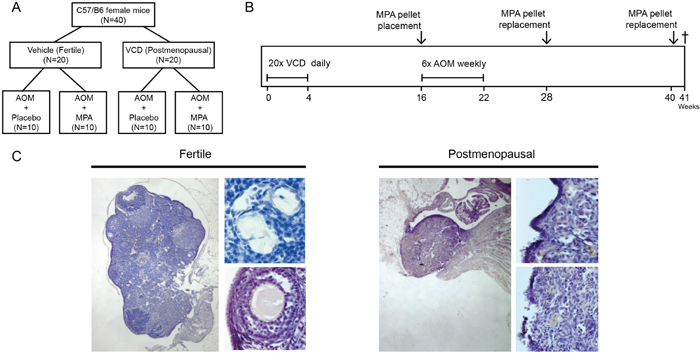 Experimental setup and VCD induced follicle depleted ovaria.