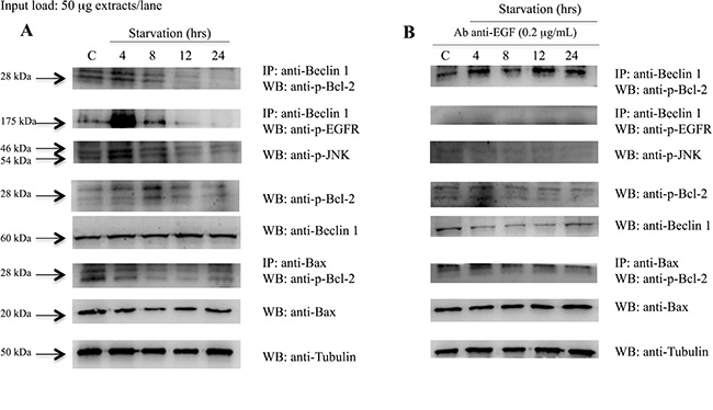 Analysis of Beclin 1 protein interactions and Bcl2 and Bax protein expression on 793 cells starved with and without anti-EGF antibody.