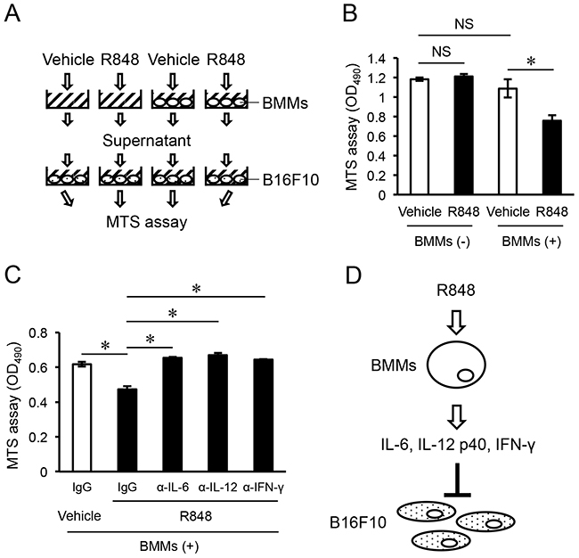 Pro-inflammatory cytokines induced from R848-treated BMMs inhibit proliferation of B16F10 cells.