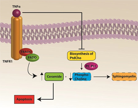 A pathway to apoptosis following Dox treatment.
