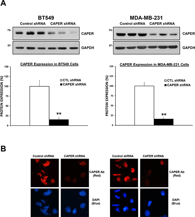 Validation of lentiviral-mediated knockdown of CAPER protein expression in tnbc cell lines.
