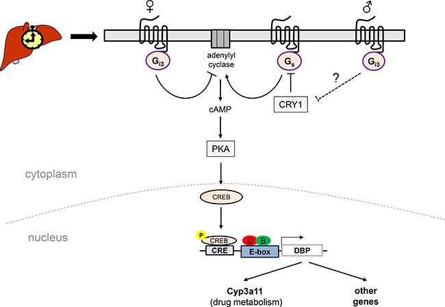 Schematic model suggesting a putative role of the Gas/Gαi3-CREB signalling pathways in sexually-dimorphic regulation of DBP expression in female vs. male mouse liver.