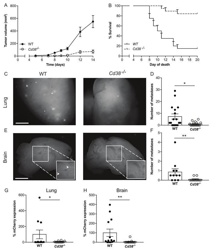 Loss of CD38 inhibits RMS melanoma primary tumor progression and spontaneous pulmonary and brain metastases.