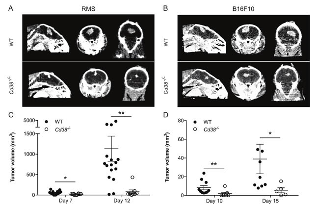Loss of CD38 inhibits expansion of intracranially injected RMS or B16F10 cells.