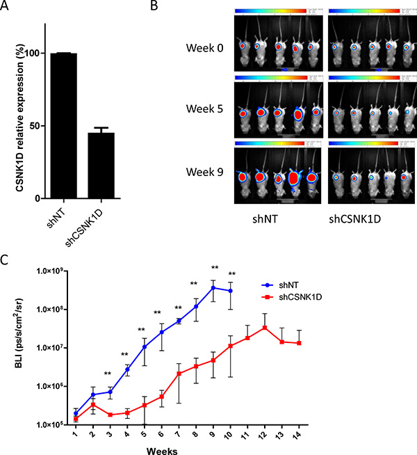 In vivo tumor growth monitoring after mammary fat pad injection of MDA-MB-231 cells transduced with shNT or shCSNK1D cells in immunodeficient mice.