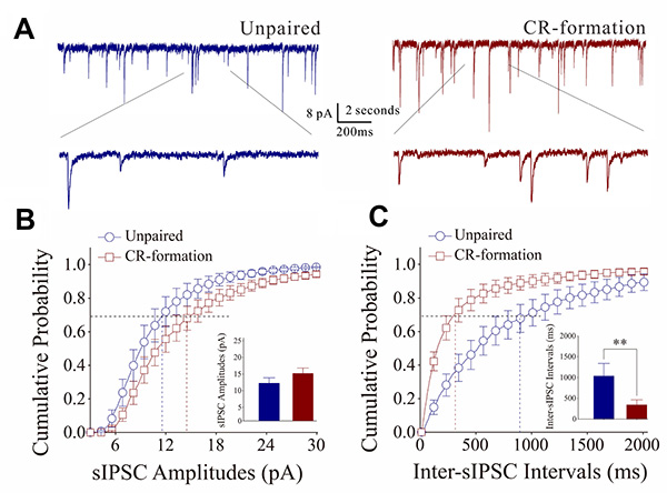 Inhibitory synaptic transmission on barrel cortical GABAergic neurons increases after multisensory associative leaning.