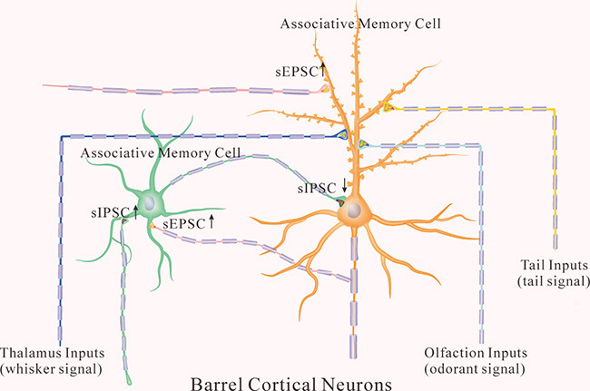 The coordinated recruitment and refinement of barrel cortical glutamatergic and GABAergic neurons set up their function state for information storage.