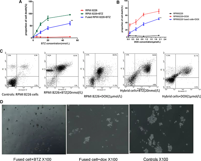 Cell fusion protected MM cells from apoptosis and promoted MM to chemoresistance.