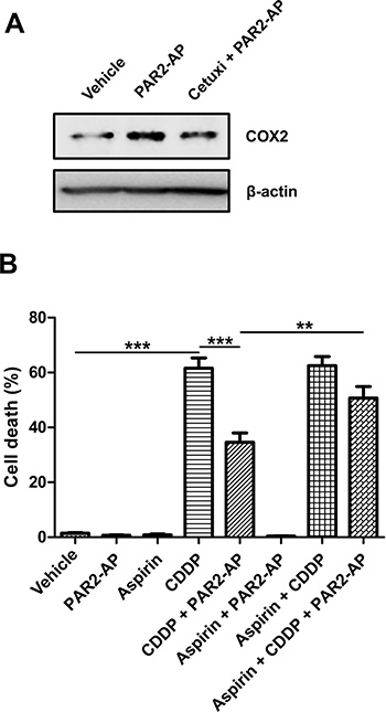 COX inhibition by aspirin impairs chemoresistance promoted by PAR2 activation in CASKI cells.