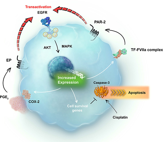 Schematic representation of the positive crosstalk between EGFR and the TF-FVIIa-PAR2 pathway in cervical cancer cells.