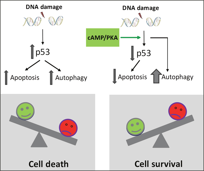 Proposed model for cAMP-mediated survival of DNA damage-induced BCP-ALL cells.