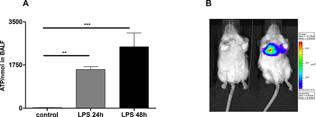 Increased ATP-Levels in the lungs of LPS treated mice.
