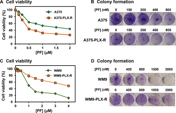 Response of melanoma cells to Chk1 inhibitor PF477736.