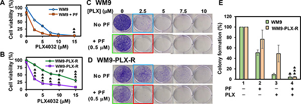 Cell viability and colony formation of WM9 and WM9-PLX-R cells in the presence of BRAFi PLX4032 and/or Chk1i PF477736.