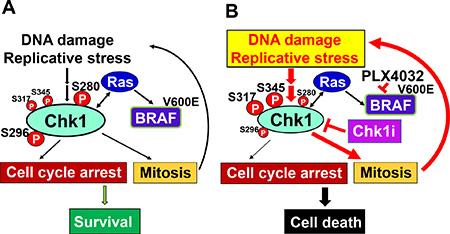 Model for Chk1 regulation of cancer cell survival.